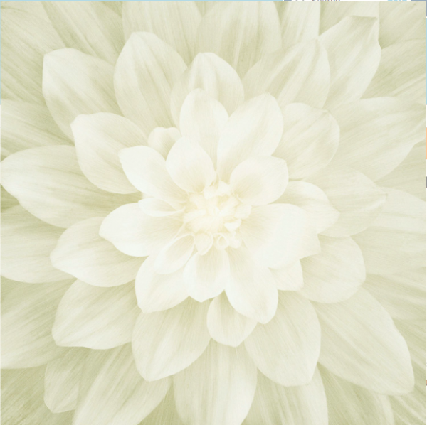 Ivory Dream Big Flower Panel By Hoffman Fabrics